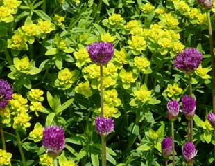Allium hollandicum 'purple sensation' with Euphorbia palustris