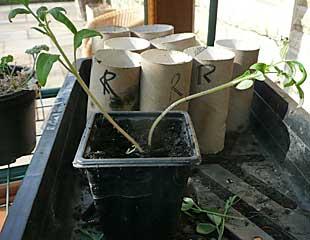 leggy tomato seedling