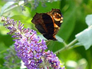 Buddleja and butterfly