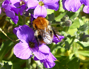 Aubretia with bee
