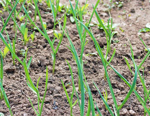 garlic in the soil