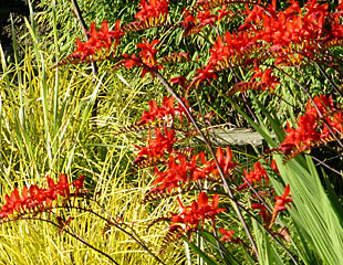 Crocosmia with grasses