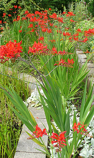 Crocosmia 'Lucifer' is tall