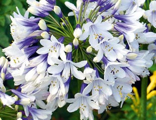 Agapanthus twister deciduous bi colour