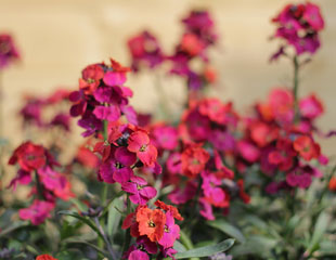 wallflower Erysimum 'Winter-Orchid'