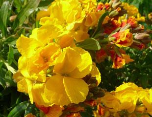 Erysimum'Berdon'common name Wallflower