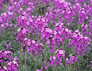 Wallflower-'Bowles'sMauve'