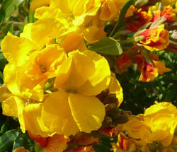 Erysimum 'Berdon' wallflower
