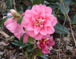 Lovely pink Camellia bloom