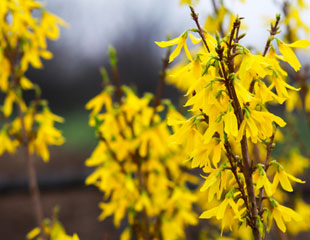 Forsythia flowers in close up