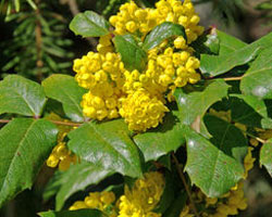 Mahonia in flower