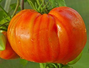 Large Beefsteak tomatoe
