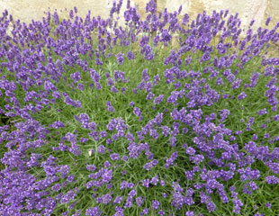 Lavender against a wall