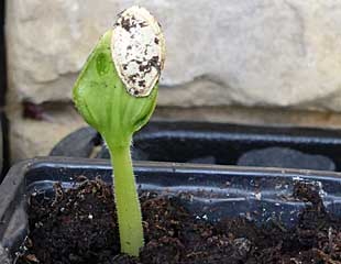 Cucumber seedling emerging