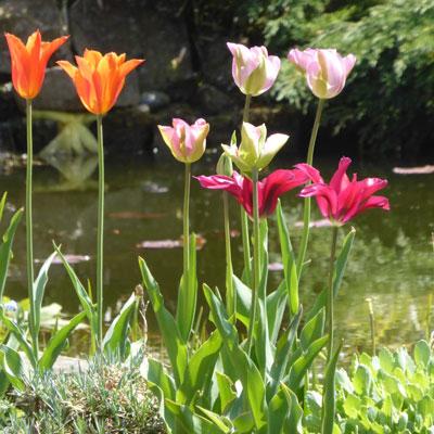 tulips-pondside-400-x-400