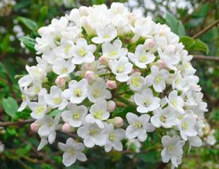 Viburnham ×carlcephalum,