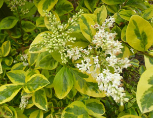 Euonymus fortunei Emerald and Gold in flower
