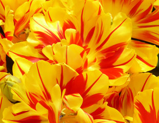 Bright yellow and red tulips