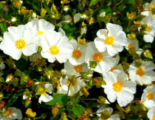 Cistus white rock rose