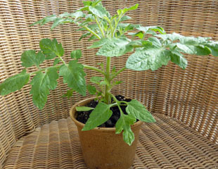 young tomato plant with side shoots