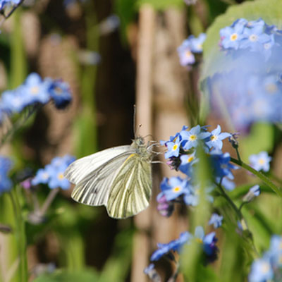 cabbage-white-and-forget-me-nots-400