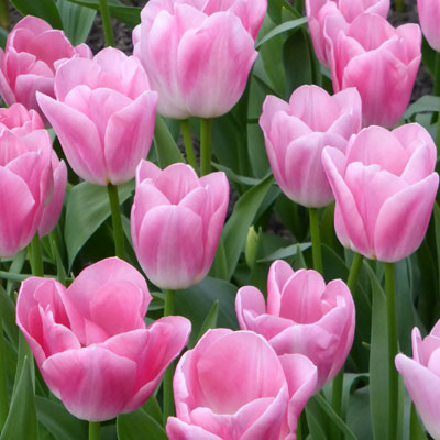 perfect-pink-tulips