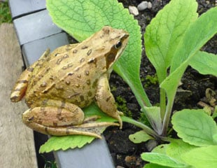 Frog on edge of veg plot