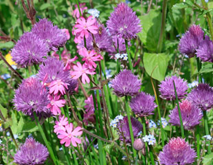 Allium chives, in wildflower setting with campion and for get me nots