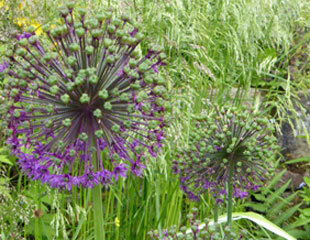 Fading flower heads of Alliums