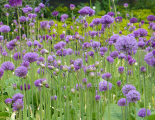 Alliums planted en masse