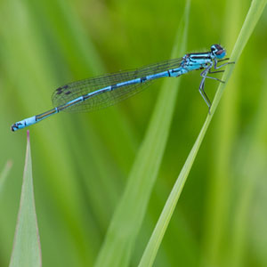 gallery damselfly-300-x-300