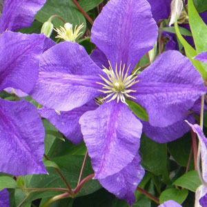 gallery-clematis-300