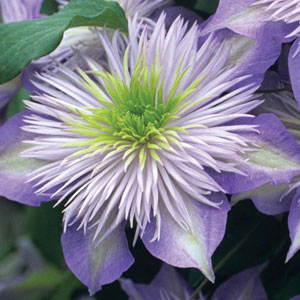 gallery-clematis-\'crystal-fountain\'