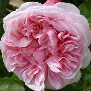 gallery-rose-300