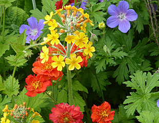 primular with Geranium and Geum