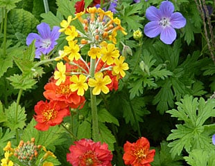Primula with blue geranium and red geum