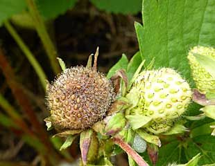 Botrytis in strawberries