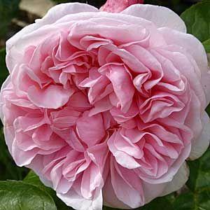 Rose-300