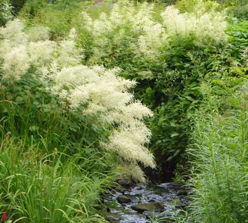 Aruncus streamside