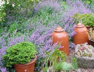 Catmint latin name Nepeta in planting scheme
