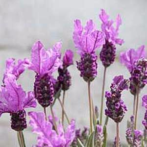french-lavender-Lavendula-stoechas-300
