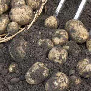 Potato-300
