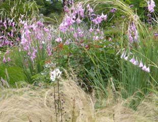 Dierama and Stipa tenuissima