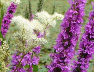 natural planting purple loosestrife and meadow sweet