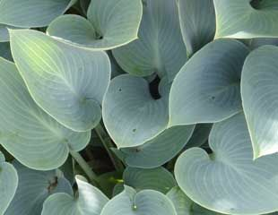Blue Hostas are more slug resistant