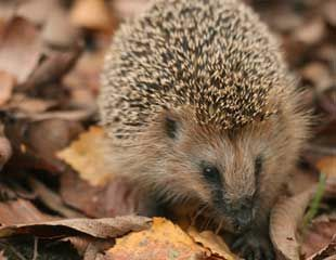 Hedgehog-with-autumn-leaves-31