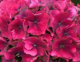 hydrangea macrophylla fading blooms