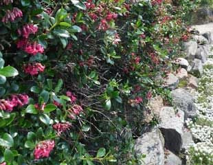 Escallonia Hedge In Guernsey