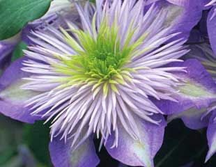 Clematis-Crystal-Fountain