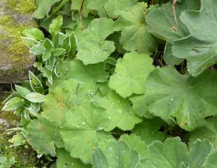 Alchemilla mollis with re growth